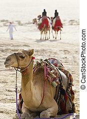 Camels In An Arabian Desert - A camel sitting down in an...