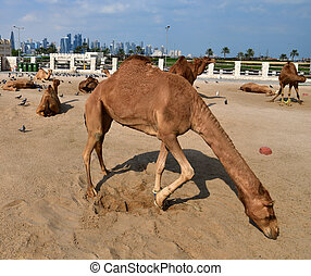 Camels in Camel Souq and Waqif Souq in Doha, Qatar,