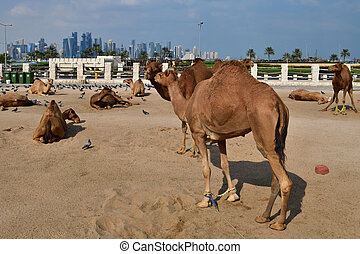 Camels in Camel Souq, Waqif Souq in Doha, Qatar,