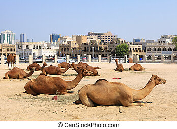 Camels in central Doha, Qatar - Camels resting in a compound...
