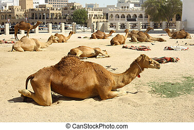 Camels in Doha