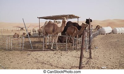 Camels in fence on a farm in the desert of Liwa United Arab Emirates stock footage video