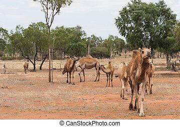 Camels in outback Queensland, Australia