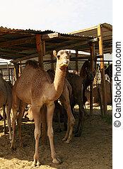 Camels in pen