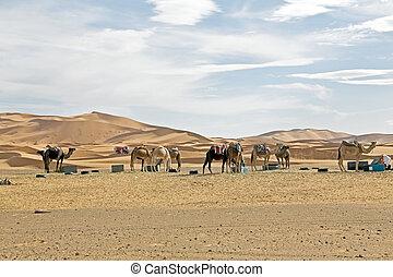Camels in Sahara Desert at sunset