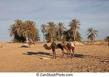 Camels in Sahara desert-Tunisia