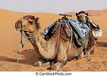 Camels in Sahara desert.