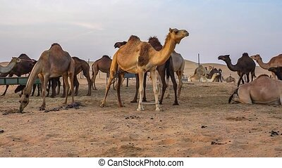 Camels in the desert of Abu Dhabi