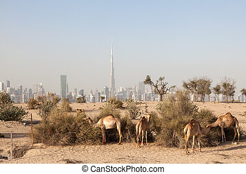 Camels in the desert of Dubai. Burj Khalifa in the ...