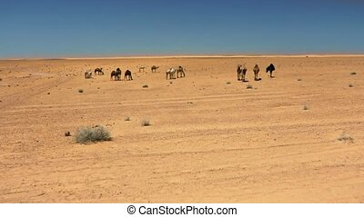 camels in the desert Sahara - wild pack of camels in the...