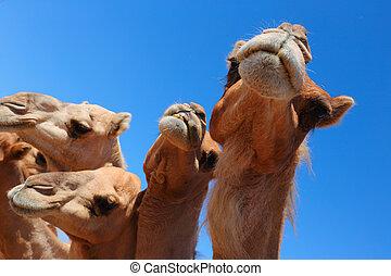 Camels in the desert UAE