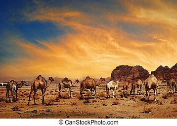 Camels in Wadi Rum - Camels in desert of Wadi Rum, Jordan