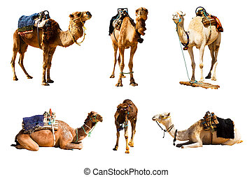 Camels isolated on white background