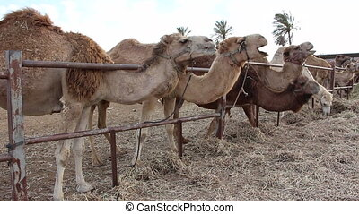 Camels munching hay in the stable