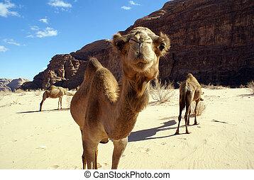 Camels near mount in Wadi Rum desert, Jordan