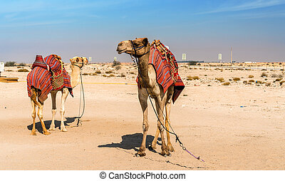 Camels near the historic fort Al Zubara in Qatar