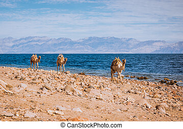 Camels on beach coast Sinai, Egypt, Africa
