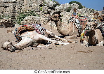 Camels On Beach - Three sitting camels on beach (Side,...