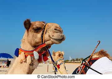 Camels on the beach in Dubai Marina