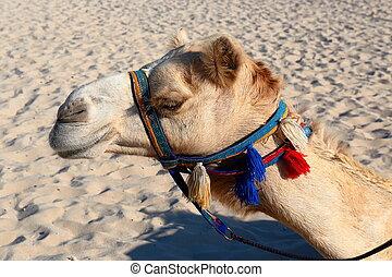 Camels on the beach in Dubai Marina