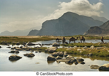 Camels on the beach, Oman, Middle East