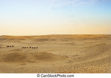 Camels on the Giza plateau, Cairo, Egypt - Camels with their...