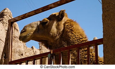 Camels on their cage - A medium shot of a camel's head. The...