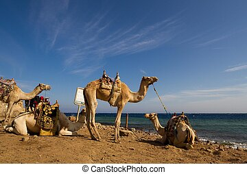 Camels 'parked' on the beach at the Blue Hole, a wonderful diving spot in Egypt, on the Red Sea, Sinai peninsula.