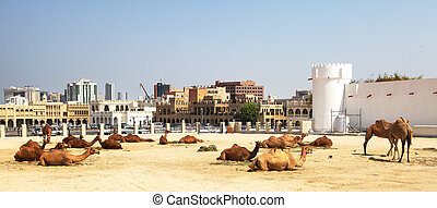 Camels resting in central Doha