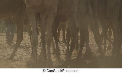 Camels standing at farm, Northern Territory - Low-angle...