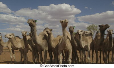 Camels standing side by side, Northern Territory - Close-up...