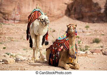 Camels - Two camels in Petra (Al Khazneh), Jordan