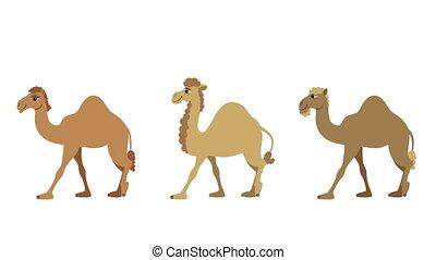 Camels Walking - Three isolated cartoon camels walking cycle...
