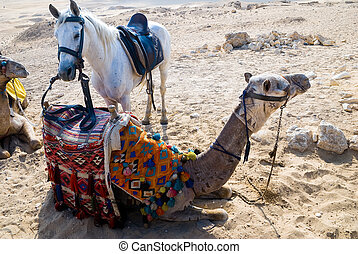 Camels with standing arab horse