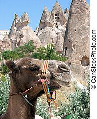 Camelus - Camel in the beautiful Kapadokya in Turkey
