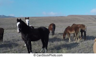 Camera flies around horses on the pasture. Flying snow.