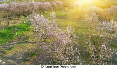 Camera flight over cherry blossom tree. Orchard in spring landscape.