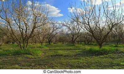 Camera flight over cherry blossom tree. Orchard in spring...