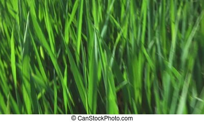 camera fly through green fresh grass, slow motion - camera...