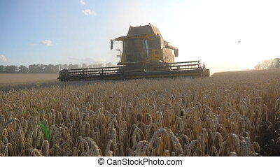Camera follows to grain harvester gathering wheat at sunny...