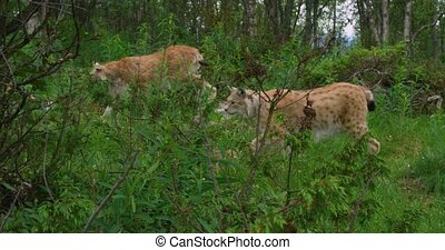 Camera follows two european lynx walking in the forest -...