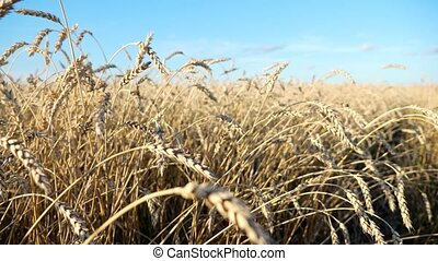 Camera movement among ears of ripe wheat.