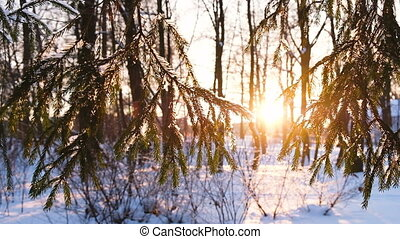 Camera movement from left to right, the rays of the setting sun Shine through the spruce branches, slow motion