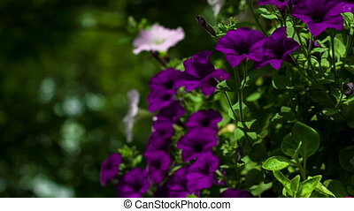 Camera movement from top to down on a bed with petunias, pan