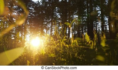 Camera movement to the sun among the grass in a pine forest at sunset