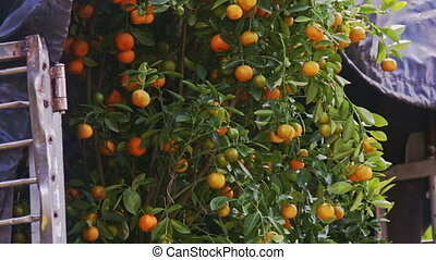Camera Moves up and down Tangerine Tree with Fruits - NHA...