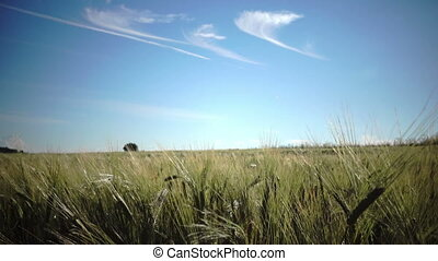 camera moves with ripe ears of wheat and a rye against the...