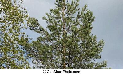 Camera Pan Down Pine Tree, closeup