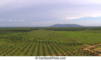 Camera raising high above big Thai plantation. Aerial video...