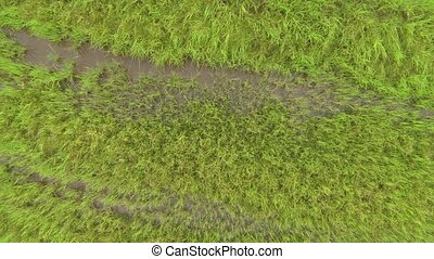 Camera raising high above green rice plantation. Aerial...